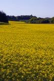 fält våldtar yellow Arkivbilder