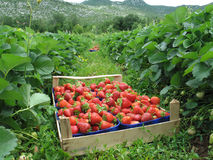 fält valda jordgubbar Royaltyfria Foton
