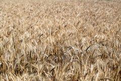 Fält vete för öraillustrationvektor sädesslag Härlig sikt av vetefältet Skörd av bröd Vete råg arkivfoto