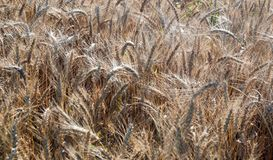 Fält vete för öraillustrationvektor sädesslag Härlig sikt av vetefältet Skörd av bröd Vete råg royaltyfri fotografi