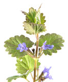 Fältbalsam eller mala-murgröna som isoleras på vit bakgrund medicinal växt royaltyfri bild