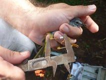Fältbiolog som mäter en fågels ben Arkivbild