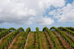 fältdruvaNapa Valley wine Arkivfoton