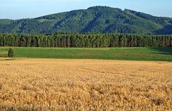 Fältet är moget korn Royaltyfria Foton