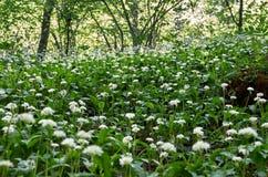 Fältet av ängen blommar i skogsmarken Fotografering för Bildbyråer