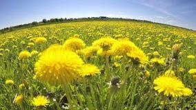 Fältet av de gula maskrosorna tog bort på en lins ett fisköga i solig dag för sommar arkivfilmer