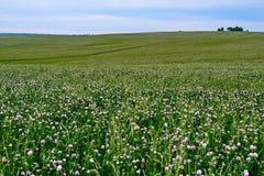 Fältet av den blomstra växten av släktet Trifolium Arkivfoto