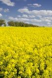 Fältet av den gula blomningen våldtar Fotografering för Bildbyråer
