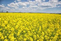 Fältet av den gula blomningrapsen på en molnig blå himmel i vårBrassicanapusen, blommande canola som är ljus våldtar Royaltyfri Bild