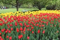 Fältet av den röda och gula tulpan blommar i en trädgård royaltyfria foton