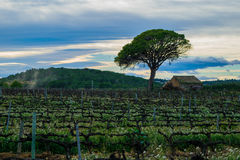 Fältet av druvavinrankor fjädrar tidigt i Spanien, ensamt träd med det gamla huset, vindruvaområde Arkivbilder