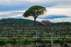 Fältet av druvavinrankor fjädrar tidigt i Spanien, ensamt träd med det gamla huset, vindruvaområde Arkivfoton