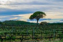 Fältet av druvavinrankor fjädrar tidigt i Spanien, ensamt träd med det gamla huset, vindruvaområde Fotografering för Bildbyråer