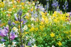Fältet av gula små blommor med violeten blommar på förgrund Royaltyfri Fotografi