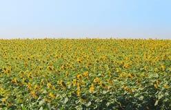 Fältet av gula solrosor Arkivfoton