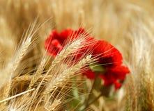 Fältet av guld- vete med den röda vallmo blommar Royaltyfri Fotografi