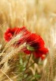 Fältet av guld- vete med den röda vallmo blommar Arkivbilder