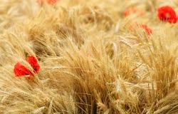 Fältet av guld- vete med den röda vallmo blommar Arkivfoto