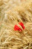 Fältet av guld- vete med den röda vallmo blommar Arkivfoton