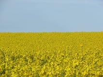 Fältet av guling blommar (rapsfröt/Canola) blå himmel royaltyfri fotografi