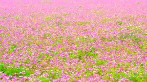 Fältet av kines mjölkar att blomma för vicker Royaltyfria Bilder