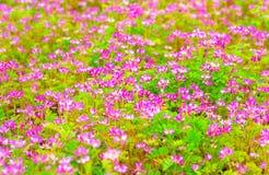 Fältet av kines mjölkar vicker som blommar på sommar Arkivbild