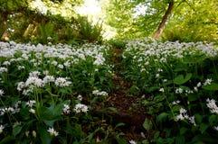 Fältet av lös vitlök blommar - Alliumursinum Royaltyfri Bild