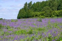 Fältet av lilor blommar i bakgrunden av skogen royaltyfri foto