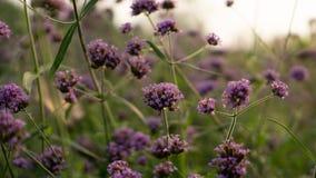 Fältet av purpurfärgade liten och nätt kronblad av den Vervian blommablomningen på gröna sidor under himmel, vet som vervian Purp arkivfoto