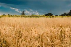 Fältet av råg och solrosor på en bakgrundshimmel Royaltyfria Bilder