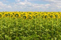 Fältet av solrosor drar tillbaka Ljus blommande solrosäng solig liggandesommar Arkivbild