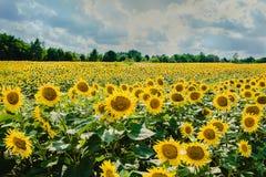 Fältet av solrosor på en bakgrundshimmel Arkivfoto