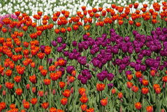 Fältet av tulpan Flowersbed Royaltyfri Bild
