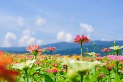 Fältet av tusenskönan blommar färgrikt Arkivbild