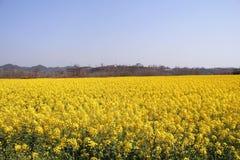 Fältet av våldtar blomman Royaltyfri Fotografi