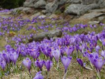 Fältet av vårblommor krokus, violet blommar arkivfoton