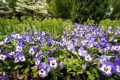 Fältet av violetta pansies blommar att blomma i vårtid Royaltyfri Bild