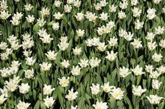 Fältet av vita lockiga tulpan Arkivfoton