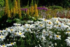 Fältet av vita tusenskönor och annan blommar Royaltyfria Bilder