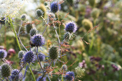 Fältet blommar eryngiumen Royaltyfri Fotografi