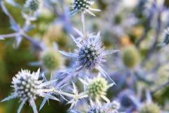 Fältet blommar eryngiumen Arkivbilder