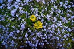 Fältet blommar i England Royaltyfri Bild