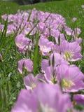 fältet blommar liliac Arkivbild