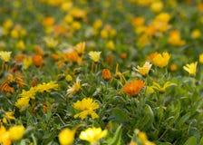 fältet blommar orangen Royaltyfri Foto
