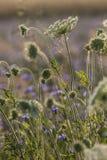Fältet blommar på gryning Fotografering för Bildbyråer