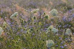 Fältet blommar på gryning Arkivbild