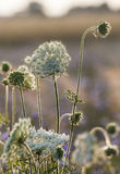 Fältet blommar på gryning Royaltyfria Foton