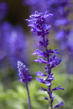 fältet blommar purple Royaltyfri Fotografi