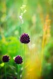 fältet blommar purple Arkivbilder