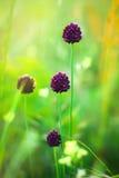 fältet blommar purple Royaltyfri Foto